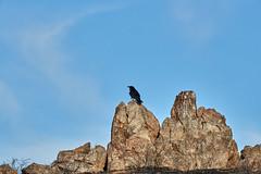06262019000008552 1 (Verde River) Tags: bird birds buzzard vulture reptile antelopesquirrel nature