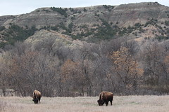Two buffaloes......and North Dakota. (Hazboy) Tags: hazboy hazboy1 north dakota teddy theodore roosevelt national park parc animal buffalo bison us usa america april 2019