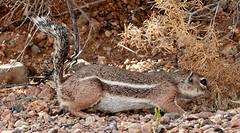 06262019000008447 (Verde River) Tags: bird birds buzzard vulture reptile antelopesquirrel nature