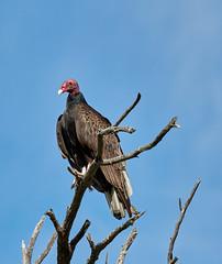 06262019000008521 (Verde River) Tags: bird birds buzzard vulture reptile antelopesquirrel nature