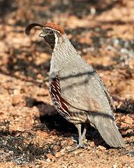 06262019000008559 (Verde River) Tags: bird nature birds reptile vulture buzzard antelopesquirrel