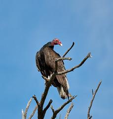 06262019000008522 (Verde River) Tags: bird birds buzzard vulture reptile antelopesquirrel nature