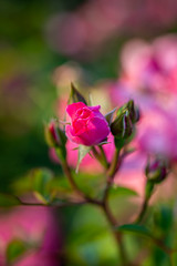 Hold your breath - Count to three... (DOKTOR WAUMIAU) Tags: berlin nikon lightroom ishootraw d7200 nikond7200 roses rose dof bokeh 90mm tamron90mm