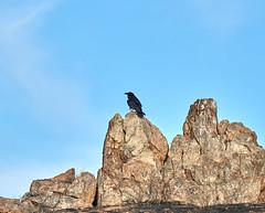 06262019000008551 1 (Verde River) Tags: bird birds buzzard vulture reptile antelopesquirrel nature
