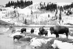 Bison near the Kelly Warm Spring, Grand Teton National Park. March, 2019. (Guillermo Esteves) Tags: nationalparks wildlife fujifilmxt3 grandtetonnationalpark wyoming fujifilm kellywarmspring bison kelly blackandwhite unitedstates moose unitedstatesofamerica