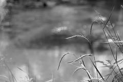 On a River Bank / На берегу реки (Boris Kukushkin) Tags: река трава травы колос чб беларусь ислочь приближение river grass grasses spike bw belarus islotch bank берег closeup вода water belarusian nature