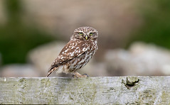 An Old Fiend (Steve (Hooky) Waddingham) Tags: stevenwaddinghamphotography animal countryside coast bird british nature northumberland wild wildlife little owl
