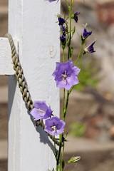 #bohuslän (Gisela Wargklev) Tags: bohuslän bluebell blåklocka