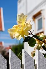 #bohuslän (Gisela Wargklev) Tags: bohuslän rose ros