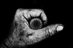 protection (Gerrit-Jan Visser) Tags: blackandwhite bnw distel garden hand project thumb
