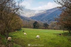 Hora el almuerzo (SantiMB.Photos) Tags: 2blog 2tumblr 2ig santjoanlesfonts garrotxa girona invierno winter rural vacas cows geo:lat=4221437240 geo:lon=250326160 geotagged cataluna españa