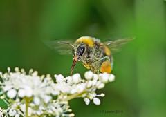 Bumble Bee -Goffs park Crawley.   R371.20.A4. (timetrialist5249) Tags: bee bumblebee flower bumblebeeinflight wildlifeuk europeanbirdsandwildlife crawleywildlife tokina10mmf28atxm100prodmacro d7100 macrophotography naturephotography wildlifephotography