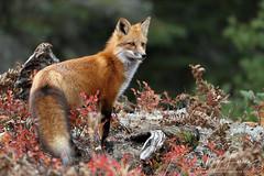 The Lookout (Megan Lorenz) Tags: redfox fox female vixen animal mammal nature wildlife wild wildanimals algonquinprovincialpark ontario canada mlorenz meganlorenz