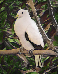 Pied Imperial Pigeon (scilit) Tags: pigeon bird imperialpigeon piedimperialpigeon white feathers nutmegpigeon spicepigeon photosandcalendar thebestofmimamorsgroups trees leaves wildlife nature wings beak perch branch
