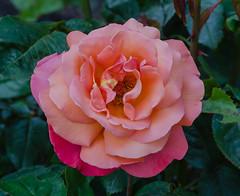 Troika rose in the Krapperup castle garden (frankmh) Tags: plant rose troika krapperup skåne sweden