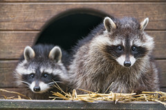 Two raccoons at the house (Tambako the Jaguar) Tags: raccoon two together cute portrait posing house looking fluffy brown staw siky park crémines switzerland nikon d5
