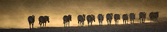 Walk in the sunset (Valérie C) Tags: zebra etosha namibia wild animal nature savannah africa nikon 500mm
