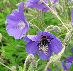 Bumble Bee on Geranium (Tanllan) Tags: insect phone camera bumble bee geranium