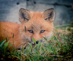 Red Fox Kit (Melissa M McCarthy) Tags: redfox fox kit young baby animal nature outdoor wildlife wild cute portrait face closeup eyes orange green grass avalonpeninsula newfoundland canada canon7dmarkii canon100400isii