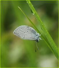 Small Blue - Sheltering from the rain III (glostopcat) Tags: smallbluebutterfly littleblue butterfly insect invertebrate macro rain june summer glos butterflyconservation prestburyhillnaturereserve
