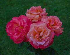 Troika roses  in the Krapperup castle garden (frankmh) Tags: plant rose troika krapperup skåne sweden