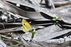 Dainty Sulphur on Tangle Turkey Fogfruit (wayne kennedy EDD) Tags: daintysulphurbutterfly daintysulphur sulphurbutterfly turkeytanglefogfruit butterfly