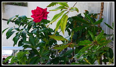 Uma rosa na minha varanda (o.dirce) Tags: rosa varanda nature natureza odirce dirce flower fleur flor