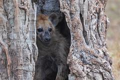 Peekaboo (Xenedis) Tags: africa afrika animal eastafrica gamedrive hyena kenya maasaimara maasaimaranationalreserve narokcounty republicofkenya riftvalley safari savannah tree wildlife