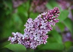 ~Eau de lilac!~ (nushuz) Tags: eaudelilac purple lilacs fragrant latebloomsthisyear df pretty alotoflilacphotostopostfromspring happyhumpday