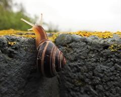 Banded Snail - Druridge Hide (Gilli8888) Tags: nikon coolpix p900 nature countryside northumberland druridge druridgeponds wetlands snail bandedsnail hide macro