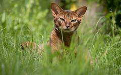 Rock and Grass 2 (peter_hasselbom) Tags: cat cats abyssinian ruddy usual neuter neuteredmale lying lyingdown lookingup grass garden middaysun summer 105mm
