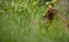 Rock and Grass 1 (peter_hasselbom) Tags: cat cats abyssinian ruddy usual neuter neuteredmale lying lyingdown grass garden middaysun summer 105mm