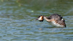 Agitation (mirage 31) Tags: frouzins greatcrestedgrebe grèbehuppé hautegaronne lac podicepscristatus podicipédidés podicipédiformes bird oiseau