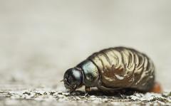 Timarcha tenebricosa (Fabricius, 1775) (Benjamin Fabian) Tags: timarcha tenebricosa chrysomelidae chrysomelinae beetle coleoptera käfer tatzen tatzenkäfer larve larva arthropod hexapod insect macro close up closeup sony sel90