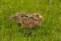 Wildlife 30th May 2019 045 (Mark Schofield @ JB Schofield) Tags: huddersfield west yorkshire pennines hills moors wildlife birds animals brown hare meadow pipit snipe meltham marsden colnevalley