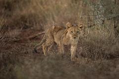 _N816027 (Niklas_N) Tags: lion wildlife nature kid south africa cat