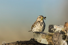 Wildlife 31st May 2019 014 (Mark Schofield @ JB Schofield) Tags: huddersfield west yorkshire pennines hills moors wildlife birds animals brown hare meadow pipit snipe meltham marsden colnevalley