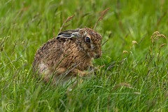 Wildlife 30th May 2019 066 (Mark Schofield @ JB Schofield) Tags: huddersfield west yorkshire pennines hills moors wildlife birds animals brown hare meadow pipit snipe meltham marsden colnevalley