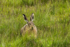Wildlife 30th May 2019 012 (Mark Schofield @ JB Schofield) Tags: huddersfield west yorkshire pennines hills moors wildlife birds animals brown hare meadow pipit snipe meltham marsden colnevalley