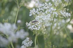 Cantharidae (Silvia Kuro) Tags: 35mm film analog analogue analogico analogica portra 400 kodak insect insects cantharidae cantaride flower flowers spring nature field natura