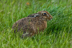 Wildlife 30th May 2019 064-Edit (Mark Schofield @ JB Schofield) Tags: huddersfield west yorkshire pennines hills moors wildlife birds animals brown hare meadow pipit snipe meltham marsden colnevalley