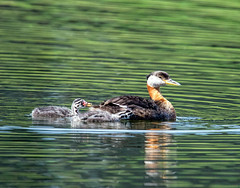 From Mama's back to the water (edmason88) Tags: redneckedgrebes babies intothewater growingfast tamron150600 strathconacounty alberta canada