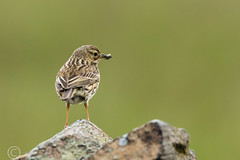 Wildlife 30th May 2019 022 (Mark Schofield @ JB Schofield) Tags: huddersfield west yorkshire pennines hills moors wildlife birds animals brown hare meadow pipit snipe meltham marsden colnevalley