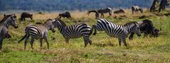 KENYA PLAIN'S ZEBRA: WHY DO ZEBRA'S FIGHT? (John C. Bruckman @ Innereye Photography) Tags: plainszebra kenya maasaimarareserve stripes socialstructure harems dominantmale foals bachelorherds zebrastallions lionkills serengeti tanzania