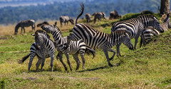 KENYA PLAIN'S ZEBRA: WHY DO ZEBRA'S FIGHT? (John C. Bruckman @ Innereye Photography) Tags: plainszebra kenya maasaimarareserve stripes socialstructure harems dominantmale foals bachelorherds zebrastallions lionkills serengeti tanzania coth5