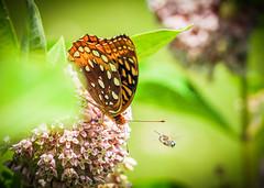 Clear the Road (Shannonsong) Tags: greatspangledfritillary bee milkweed wildflower flower garden flight nature lepidoptera mariposa wings butterfly