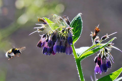 Busy Bumble Bee (eric robb niven) Tags: ericrobbniven scotland flowers wildlife bumble bee springwatch