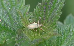 Weevil - Phyllobius Virideaeris (Dr Wood's Wildlife Photos 2019) Tags: weevil phyllobiusvirideaeris greenweevil
