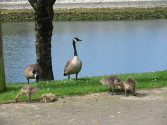 En famille (trilliumgirl) Tags: canada geese goslings goose bird granville island vancouver bc british columbia family water grass blue green brown black