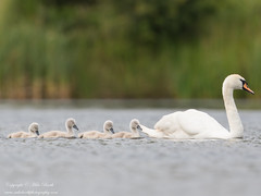 Mute Swan (Cygnus olor) (www.mikebarthphotography.com 2M Views thanks !) Tags: muteswan cygnusolor